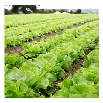 Champs de salades à côté de nos ateliers Sodebo